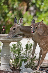 Doe and Fawn at Birdbath