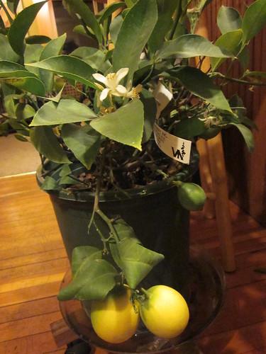 Large, medium, and not-yet-formed lemons (aka flowers) on my lemon tree!