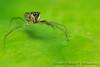 terkejut (DQuantan) Tags: macro nature spider nikon jumper makro gambar kuantan pahang bangi hujan d60 selai serangga labahlabah endaurompin sp90mm alamsemulajadi titisanair dquantan lubuktapah