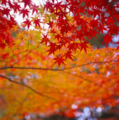momiji (yocca) Tags: autumn red film leaves japan wow t leaf kyoto dof kodak bokeh 100v10f hasselblad momiji japanesemaple   ektachrome 2010 500cm carlzeiss e100g shinnyodou   plannar nov2010