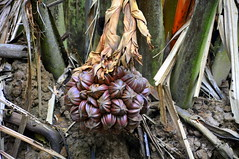 Globular fruit cluster of the Nipa palm (Eustaquio Santimano) Tags: from fruit river that island islands moving singapore soft paradise slow mud pacific getaway wildlife indian cluster grow palm rivers wetlands waters flowing oceans common bring tidal bangladesh jawa pulau chek coasts nipa nipah ubin nutrients globular pualu