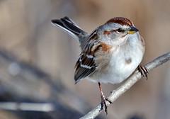 American Tree Sparrow perching DSC_1709a (f6.1-f8.0) Tags: park cambridge ontario canada tree bird birds riverside american sparrow whitethroated nikond90