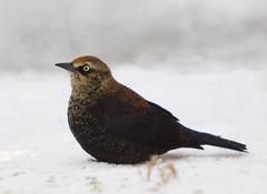 Rusty Blackbird (male) (Phil Armishaw) Tags: wild copyright ontario canada male bird point long phil rusty blackbird 2011 armishaw