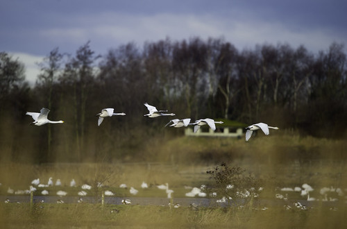 Whooper Swans (Martin Mere)