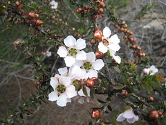 Tea Tree IMG_2571 (MargaretDonald) Tags: teatree myrtaceae leptospermum barranjoey nswleptospermumsquarrosum