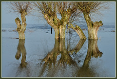 High water (2011) (Jan Visser Renkum) Tags: trees bomen highwater hoogwater knotwilgen nederrijn