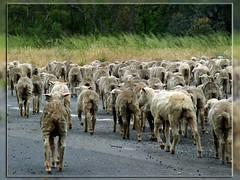 Heading Home. (syam C) Tags: road rural crossing sheep country australia victoria grasses shorn throughglass canona710