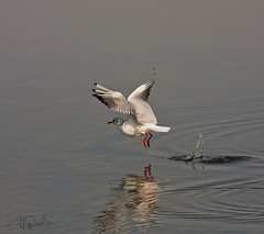 Black-headed Gull(Larus ridibundus) (ALi AL-Qudsi) Tags: black canon gull ali l 28 abha 70200 headed  larus 55200 ridibundus asir d40    40d      alqudsi