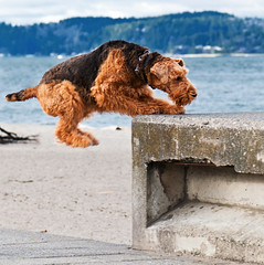One Giant Leap for K-9 (metadata man) Tags: dog beach washington jump jumping alki westseattle keegan leap leaping airedaleterrier