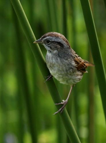 Swamp Sparrow - 4/16/2010
