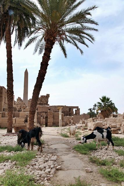 エジプト ルクソール カルナック神殿のヤギ