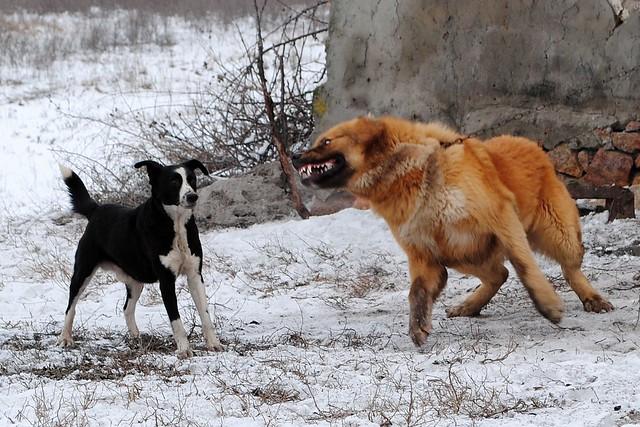 Злая кавказская овчарка
