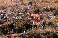 Ethiopian wolf - Guassa (Solimar International) Tags: community conservation guassa areaethiopia