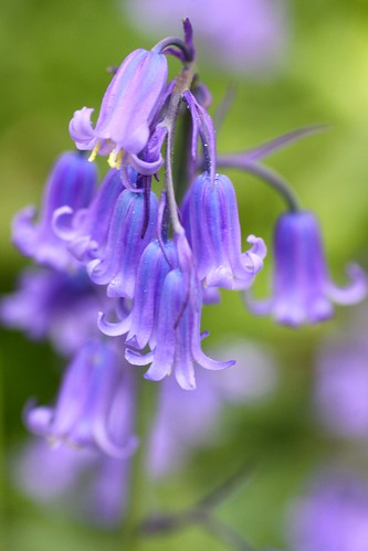 Bluebells at Waldershare