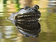Monet's frog (fizzybeth) Tags: