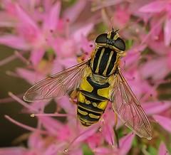 Gewone pendelvlieg - Helophilus pendulus (Foto by Yves) Tags: hoverfly zweefvlieg diptera tweevleugeligen syrphidae heliophilus specinsects ngc