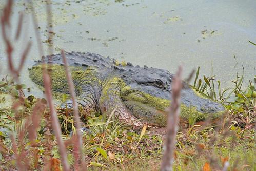 'Gator