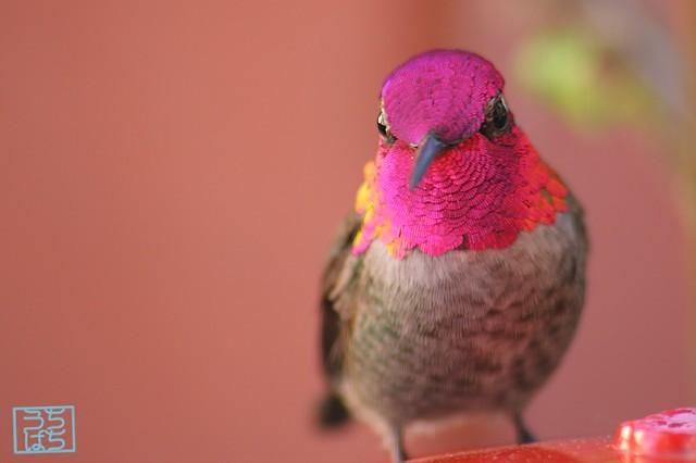 Anna's Hummingbird 112610-1