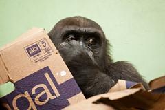 2010-11-28-12h05m17.272P1561 (A.J. Haverkamp) Tags: zoo rotterdam blijdorp gorilla dierentuin diergaardeblijdorp adira westelijkelaaglandgorilla httpwwwdiergaardeblijdorpnl canonef100400mmf4556lisusmlens pobrotterdamthenetherlands dob12102006