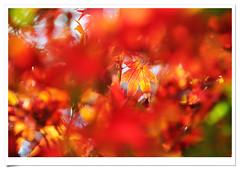 4432      .   .    - momiji autumn colors   maple leaves . Wuling . Fushoushan Fram  . Alpines Scenes . Landscape of Taiwan Mountains (deepblue68) Tags: world life county autumn trees light shadow red sky sunlight mountain color colour nature colors leaves sign forest season landscape outdoors photography photo leaf maple flora scenery asia natural image earth farm seasonal scenic taiwan environmental explore momiji vision taichung blaze  formosa           alpines   wuling         lishan fushoushan        deepblue68