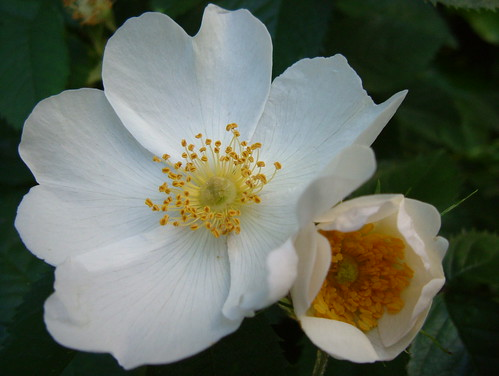 Beautiful, Sweet Smelling White Wild Dog Roses of Russia Dock Woodland, Rotherhithe, London SE16 @ 3 June 2010