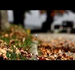 Count the garden by the flowers, never by the leaves that fall. (*karla) Tags: life autumn flower canon 50mm flickr dof bokeh hangon