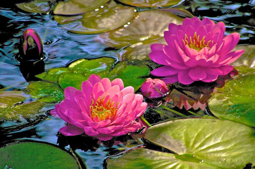 Koi Pond Lilies
