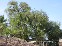 Brahma - Vanni Tree 2