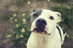 Betty (...stephanie...) Tags: cute love dogs pups betty bluenose pitbulls mydogs