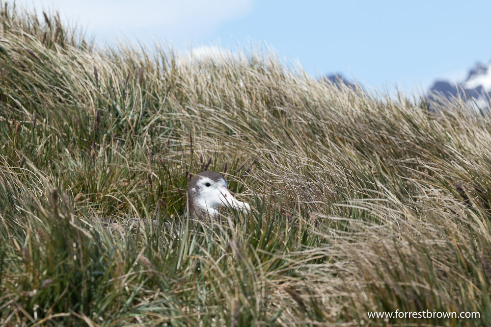 South Georgia, Juvenile Wandering Albatross, Prion Island
