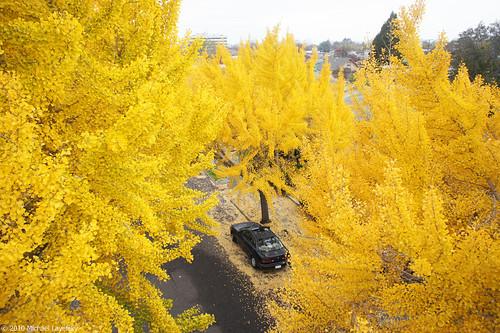 Birdseye Autumn Ginkgos