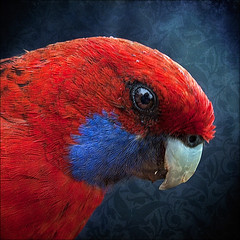 Crimson (Leenda K) Tags: crimson cheeky rosella redmood leendak thankyourubyblossom magicunicornverybest magicunicornmasterpiece