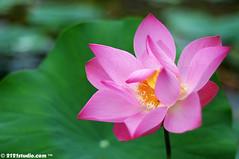 Teratai (2121studio) Tags: flower love nature flora nikon ali malaysia bunga indah  cinta  kuantan alam malaysianphotographer    tamangelora lunamaya achaseptriasa umieaida 2121studio kuantanphotographer pahangphotographer ciptaanallahswt umminazreen