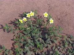 Tribulus terrestris ? (Linda DV) Tags: africa travel flower yellow jaune canon geotagged yellowflower amarillo gelb ethiopia geel 2010 floramarilla powershots5is lindadevolder