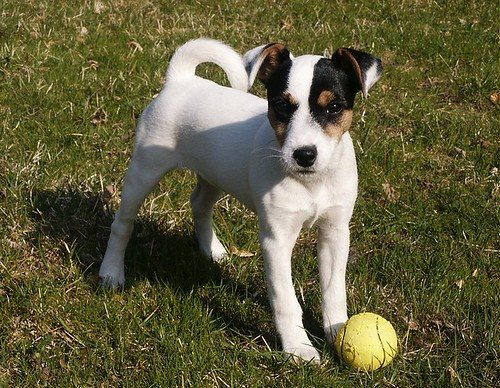 Parson_Russell_Terrier_Puppy_3_Months_Old