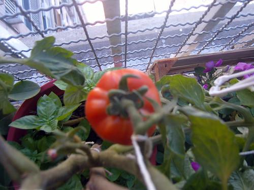 tomate  V
