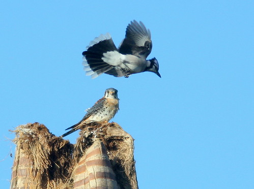Blue Jay and Kestrel 3-20101210