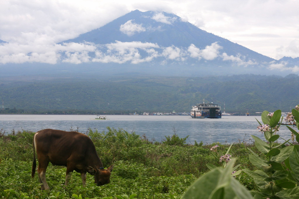 Cow, ferry and volcano, Gilimanuk, Bali, Indonesia