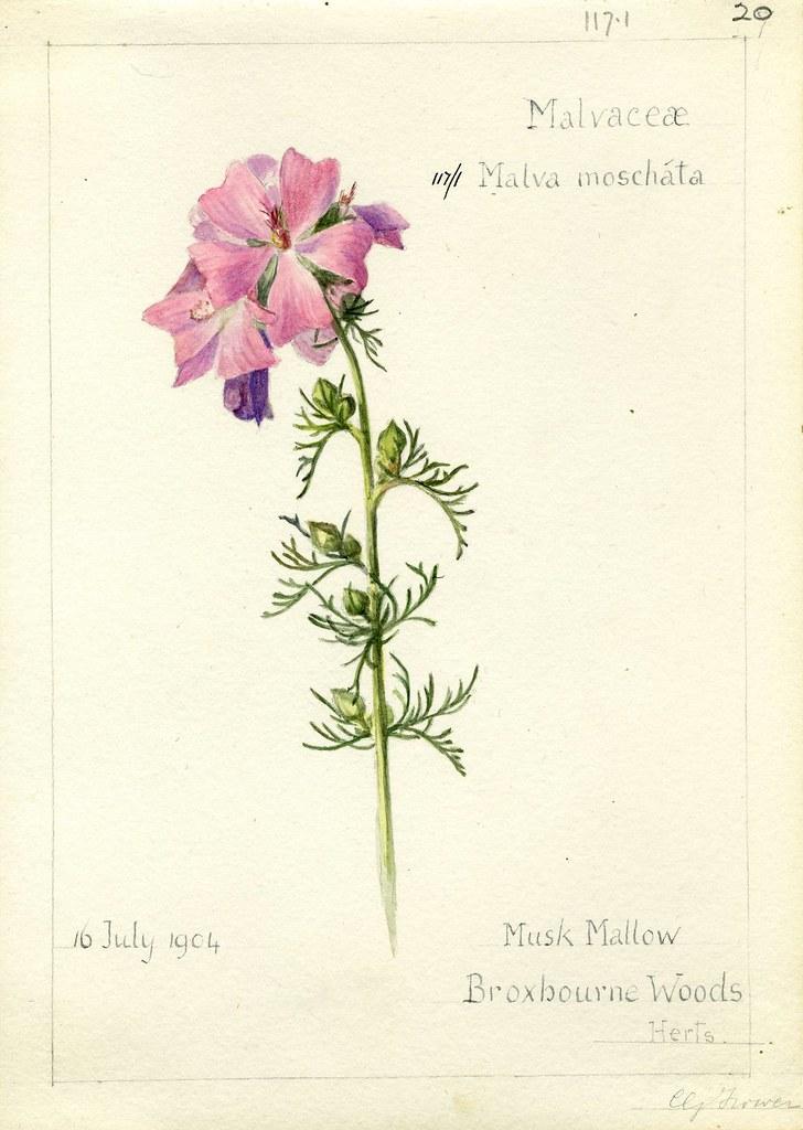 Malva moschata, Herts. 1904