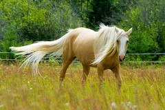 Palomino: Explored (Boreal Photography) Tags: horse boreal palomino