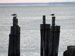 9-81-12december2010 047 sea_gulls