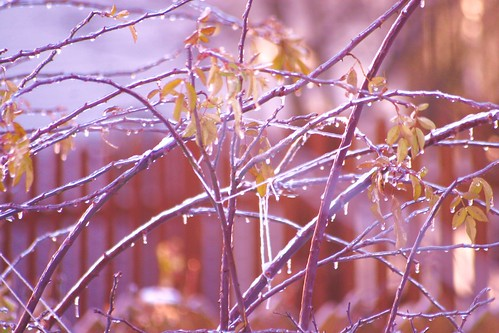 Icy Wet Branches