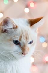 Nimbus in Lights (Piouscat/C.Quinn) Tags: christmas blue winter orange white cat kitten feline bokeh kitty siamese christmaslights coloredlights daytime dslr redpoint canon50d