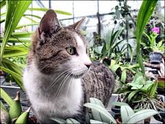 (Tölgyesi Kata) Tags: cat hdrlikeeffect kattekop chat gatto gato macska budapest 蘭花 füvészkert meow cica kitty neko flower fleur virág