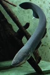 Zitteraal - Electrophorus electricus - Electric eel (StefanKoeder) Tags: fish germany deutschland zoo stuttgart fisch m42 mf wilhelma electriceel zitteraal electrophoruselectricus aschachttravenar12850r flickrtreffen2010dez12