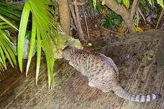 Key West (Florida) November 2010 3175b 4x6 (edgarandron - Busy!) Tags: cats cat tabby kitty coco kitties tabbies blueparrotinn
