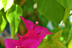 new flower (zbigphotography (1M+ views)) Tags: flower green nature flora nikon riyadh saudiarabia whiteleaves pinkbud