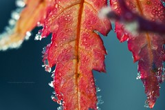Acer 3 (danmon_81) Tags: winter red macro nature up leaves frost close autum natural bokeh acer veins