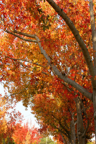 liquidambar styraciflua fall color