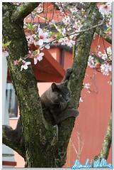 The Cat & The Almond tree (Alessandro Voltolina) Tags: topo nikon kitten kat feline chat grigio kitty gato felino katze gatto gatti kot katz ggg funnycat crazycat micio almondtree 105mm nikkor105mm unghie gattigattinigattoni kissablekat nikonclubitalia miciopiccolo nikond300s 2010avoltolina nikonclubit